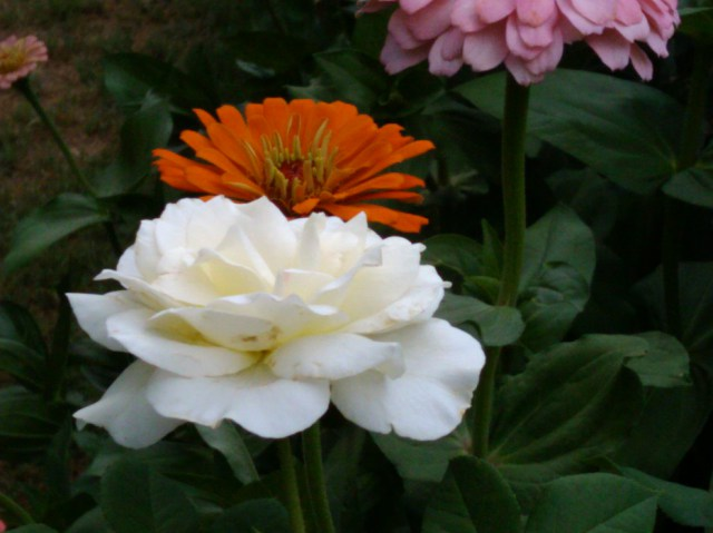 Zinnias complement our roses with beautiful blooms